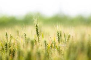 champs de blé photo