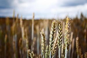 champ de céréales en journée nuageuse photo