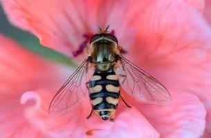 abeille sur la fleur rose photo