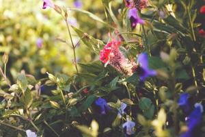 fleurs de crête de coq dans le jardin sur ton vintage. photo