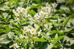 Plants de pommes de terre en fleurs blanches et jaunes au soleil photo