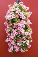Impatiens roses colorés dans un récipient suspendu photo