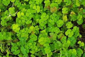 Marsilea quadrikolia, Marsileaceae, Asie de l'Est, Inde photo