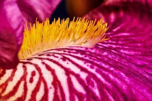Détail de l'iris fleur pourpre