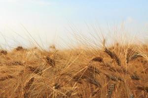 champ de blé jaune