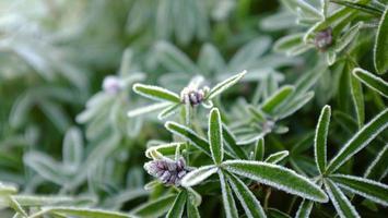 Détail de macro gel plante à feuilles persistantes avec arrière-plan flou
