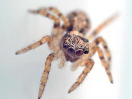 araignée sauteuse de maison photo