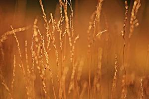 fond de champ herbe lueur coucher de soleil été