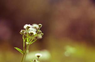 fleur de camomille photo