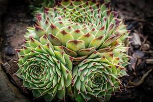 grappe de cactus photo