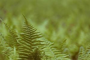 Fougère d'automne, fougère des bois japonais ou fougère de bouclier de cuivre (dryopteri photo