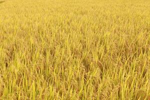 champ de riz paddy