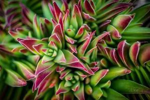 Grappe de cactus à pointe rouge