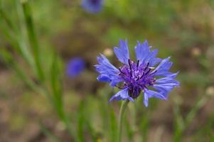 Fleur de bleuet dans un jardin de près photo