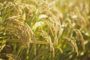 oreille de riz