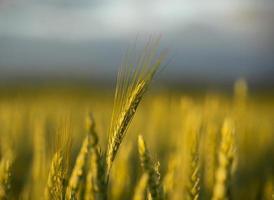 blé dans le champ