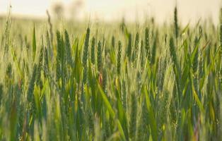 blé vert photo