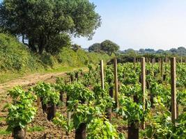 Vignoble sur l'île de Sark, îles anglo-normandes