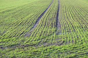 rangées vertes dans un champ au printemps photo