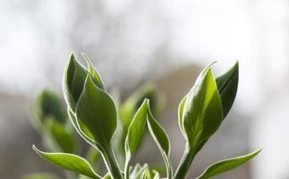 jeunes feuilles. printemps. (mise au point douce).