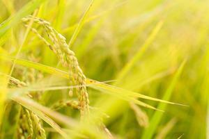 ferme de riz paddy doré photo