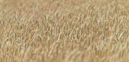 champ de blé (gros plan)