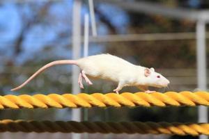 souris domestique sur la corde photo