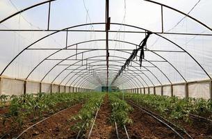 la culture de la tomate en serre photo