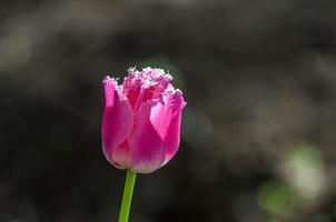 tulipe rose photo
