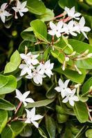 fleur de karonda blanche