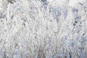 herbe sèche sous la neige photo