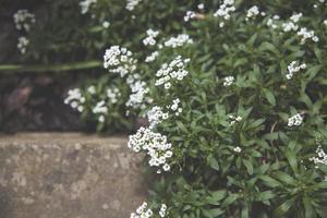 petites fleurs d'arabis blanc photo