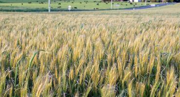 blé dans le champ photo