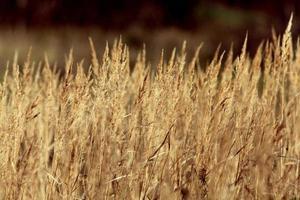 fond d'herbe de carex sec photo