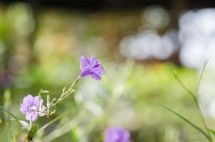 Fleur de ruellia tuberosa photo