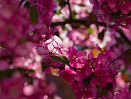 pommier paradisiaque en fleurs,