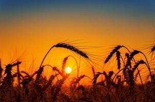 coucher de soleil rouge sur champ avec récolte