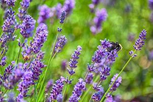 Gros plan de deux abeilles pollinisant la lavande