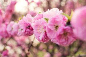 Sakura photo