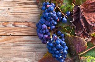 raisin bleu photo