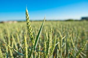 détail du champ de blé