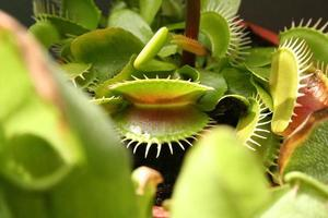 Vénus flytrap (Dionaea muscipula)