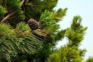 cônes de pin de cèdre sur une branche. photo tonique