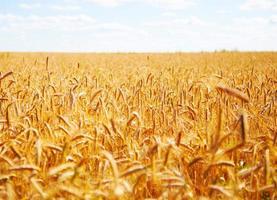 Champ de blé extérieur détail de l'épi jaune