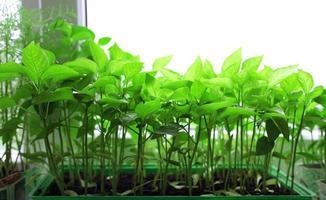plants de tomates sur le rebord de la fenêtre photo