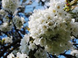 kirschblüten photo