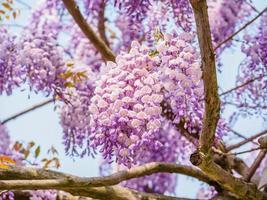 série de fleurs de printemps, glycine violette