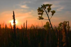 champ de colza au crépuscule photo