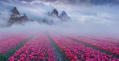 fantastique paysage de printemps avec des champs de tulipes cultivés à l'extérieur