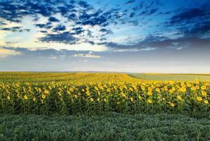 Champ de tournesol à l'aube à côté du champ de soja